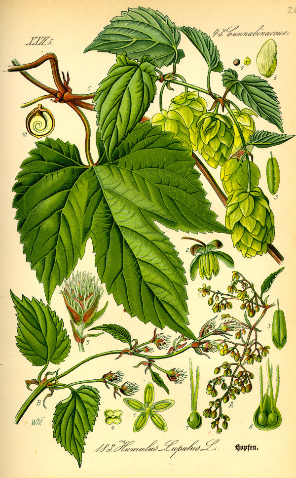 Illustration Humulus Lupulus